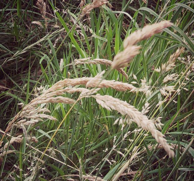 bronte grasses