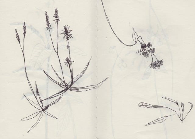 botanical-drawing-2